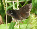 Is this skipper a Duskywing or Cloudywing? - Pholisora catullus