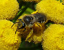 Plasterer (Cellophane) Bee - Colletes - female
