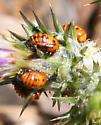 Ladybird Beetle?
