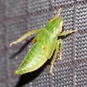 Leafhopper Nymph - Gyponana
