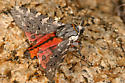 Tiger Moth? - Arachnis picta