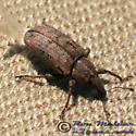 Weevil 02 - Listronotus