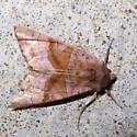 moth - Phlogophora periculosa