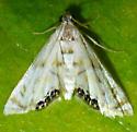 Petrophila drumalis - Argyractis drumalis