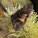 Orange Under-wing Moth 2 - Annaphila
