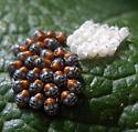 Stink bug nymphs and eggs? - Chinavia hilaris