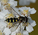 hoverfly - Melangyna