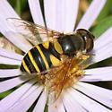 female Transverse Flower Fly - Eristalis transversa - female