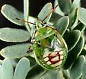 Immature Bug 2 - Tylospilus acutissimus