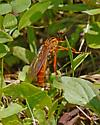 wasp - Diogmites