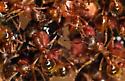 European fire ants - Myrmica rubra - female