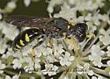 9003122 Crabronid - Ectemnius maculosus