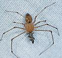 spider - Scytodes