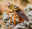 Flying insect - Laphria saffrana