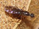 Empidid Fly - Dolichocephala