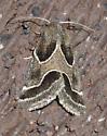 Ragweed flower moth - Schinia rivulosa