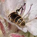 Hoplitis ? - Chelostoma californicum