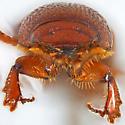 Caelius browni (Saylor) - Caelius - male