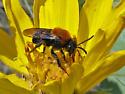Cuckoo Bee - Melecta - male