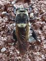 Native or Invader? - Mallophora fautrix