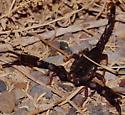 Dark scorpion - Diplocentrus whitei - male