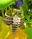 Big Moth? - Hyles lineata