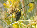 Unidentified Cerambycinae - Crossidius ater - male