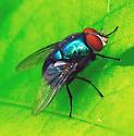 Metallic Blue Green Fly - Lucilia coeruleiviridis - male