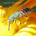 Metallic Green Bee - Agapostemon - male