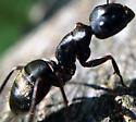 Ant - Camponotus pennsylvanicus
