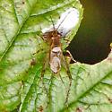 Cricket - Anaxipha - male