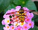 Strange bee - Milesia virginiensis