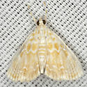 Common Glaphyria Moth - Hodges #4869 - Glaphyria glaphyralis
