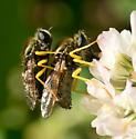 Eulonchus sapphirinus - male - female