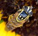 Syrphid Fly - Copestylum vittatum - female