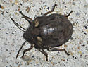 Is this a stink bug? - Tetyra robusta