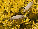 beetles - Epicauta rehni