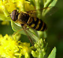 Syrphid fly - Syrphus - male