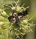 Tiny moth? - Thyris maculata