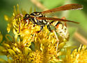 Golden Paper Wasp - Polistes aurifer