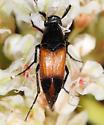 Macrosiagon cruenta? - Macrosiagon cruenta - female
