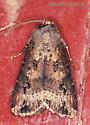 Noctuidae ? - Agrotis ipsilon - male