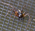 Bird dropping lynx spider? - Oxyopes scalaris - male