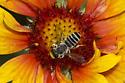 Hostile Leaf-cutter Bee - Megachile inimica