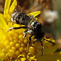 Another Cuckoo-Bee (Epeolini)? - Epeolus