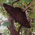 Black Witch - Ascalapha odorata