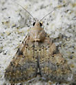 Moth - Forsebia cinis - female