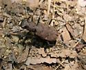 One-spotted tiger beetle - Apterodela unipunctata