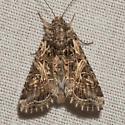 Yellow-striped Armyworm Moth - Hodges #9669 - Spodoptera ornithogalli - female