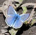 Blue Butterfly? - male